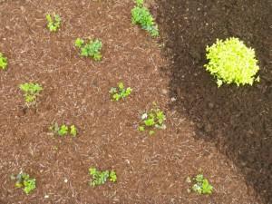 Suurte okaspuude all on mõistlik kasutada sobivaid pinnakattetaimi
