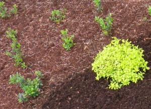 okas võib kukkuda taime vahele ja sinna jäädagi